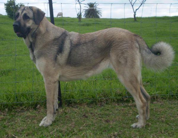 Full Breed Volkodav Dog