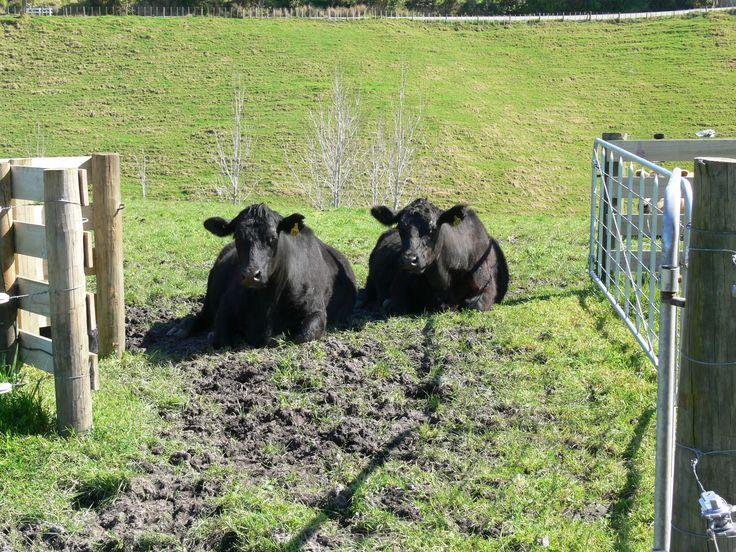 Gate keepers - Angus breeding stock