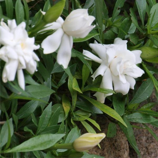 Gardenia Radicans Variegata: 83 Best Plants Images On Pinterest