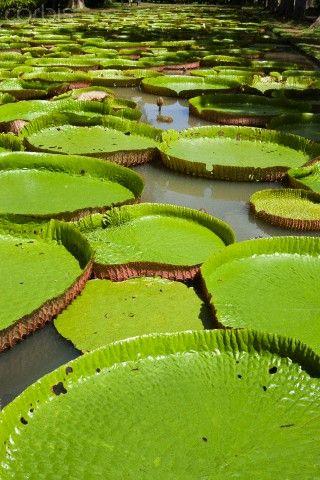 Giant Amazon Water Lillies www.selectlatinamerica.co.uk
