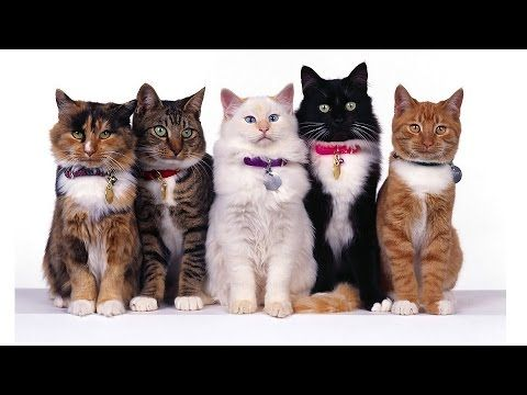 All Cute Cat Breeds List (A To Z) - YouTube