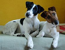 Smooth Fox Terrier - A.k.a Fox Terrier, Wire Fox Terrier - United Kingdom