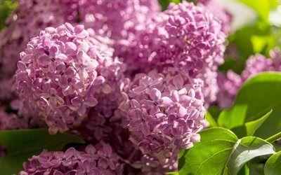 Scarica sfondi lilla, fiori viola, busok, primavera, fiori di primavera