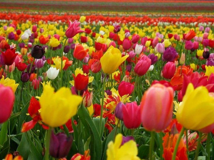 El significado de los colores de los tulipanes - http://www.jardineriaon.com/el-significado-de-los-colores-de-los-tulipanes.html
