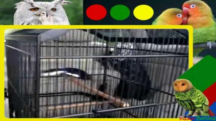 Suara burung Kacer juara ngerool isian fuul