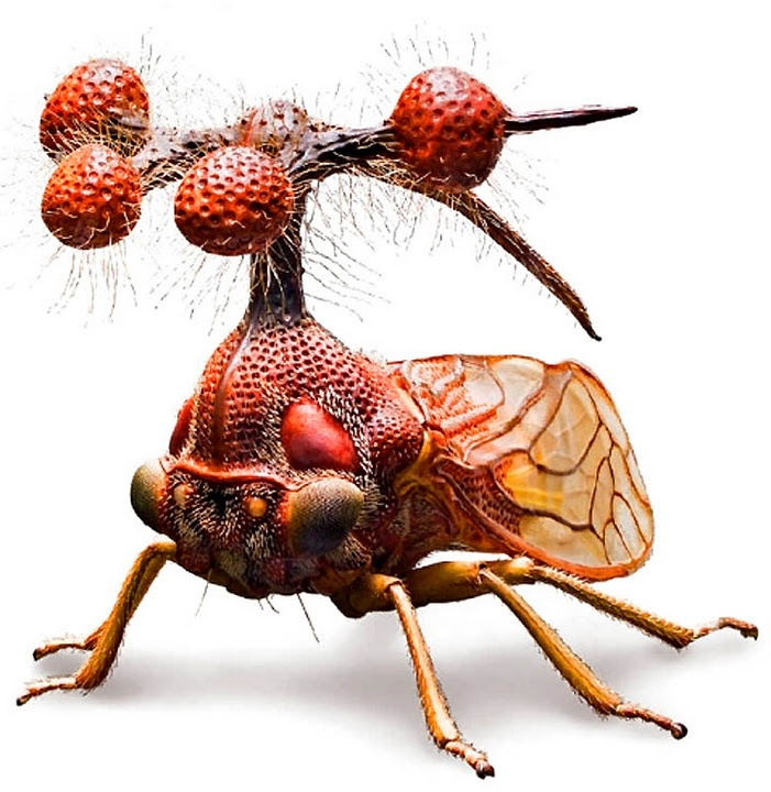 """This is the Brazilian Treehopper, or Bocydium globulare - a real living insect, which only pretends to be an alien helicopter. Its other name is """"The Bell Bearer""""; the """"Globulare"""" part of its Latin moniker stands for these utterly bizarre spheroids on the top (they are not antennae!).: Globular Leafhopp, Natural History, Bocydium Globular, Bugs, Real Living, Aliens Helicopters, Living Insects, Brazilian Treehopp, Animal"""