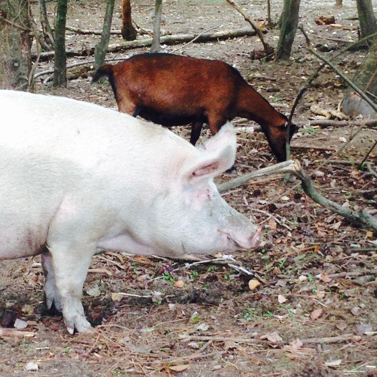 Ippoasi: i maiali ospiti della fattoria vivono sereni e indisturbati, nessuno ha intenzione di nutrirsi di loro