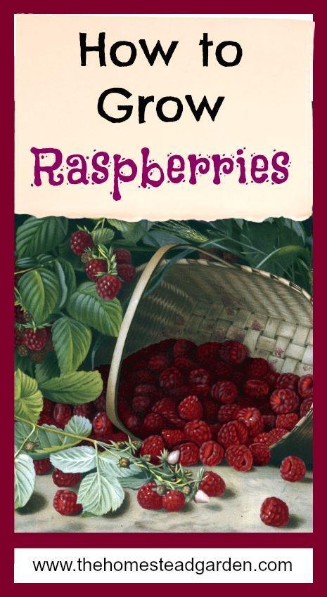 How to Grow Raspberries In the Garden: