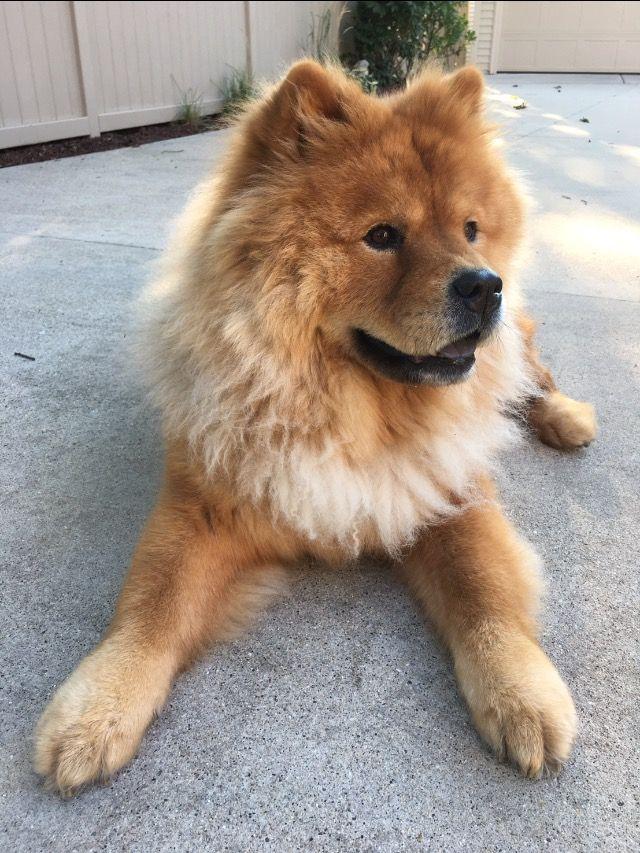 Pinterest Catherinesullivan2017 Chow Chow Dogs Bear Dog