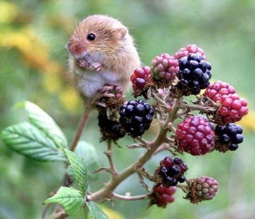 sweet.Mice, Summer Fruit, Animal Baby, Sweets, Funny Animal Pics, Harvest Mouse, Fields Mouse, Berries, Labs Rats