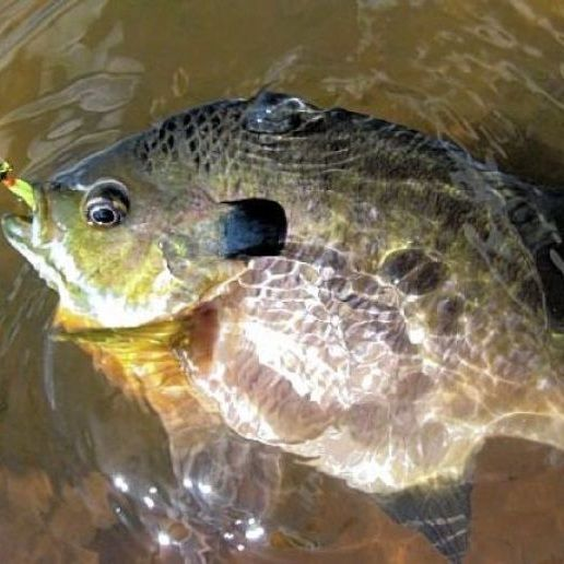 156 best images about bluegill fishing on pinterest app for Blue gill fishing
