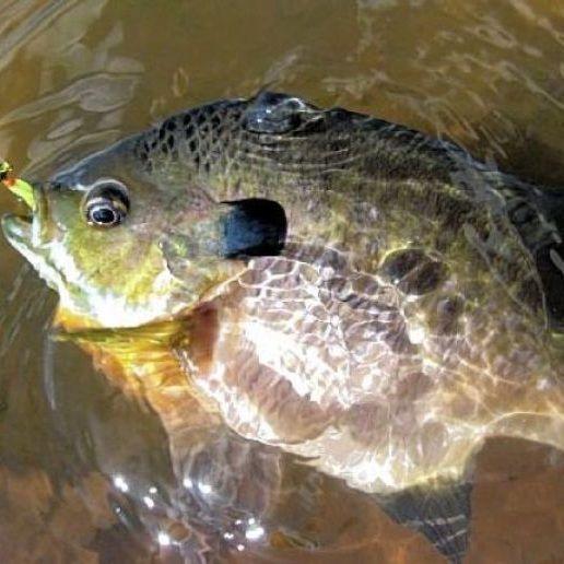 156 best images about bluegill fishing on pinterest app for Bream fishing bait