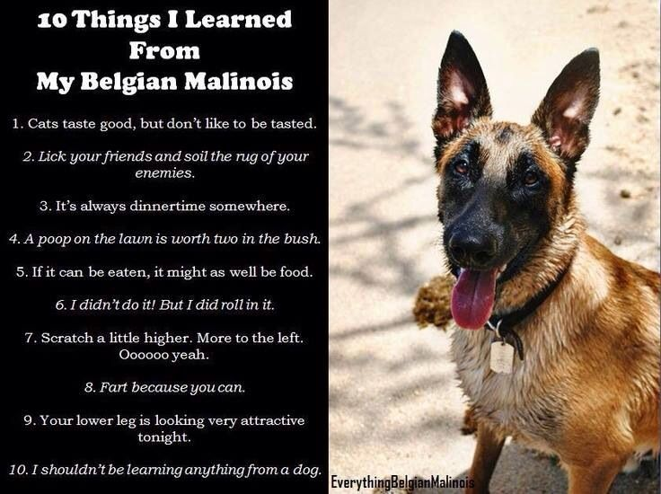 546549a7e0c18671dee7b10e6c249d80 belgium malinois dog love 57 best malinois memes images on pinterest german shepherd
