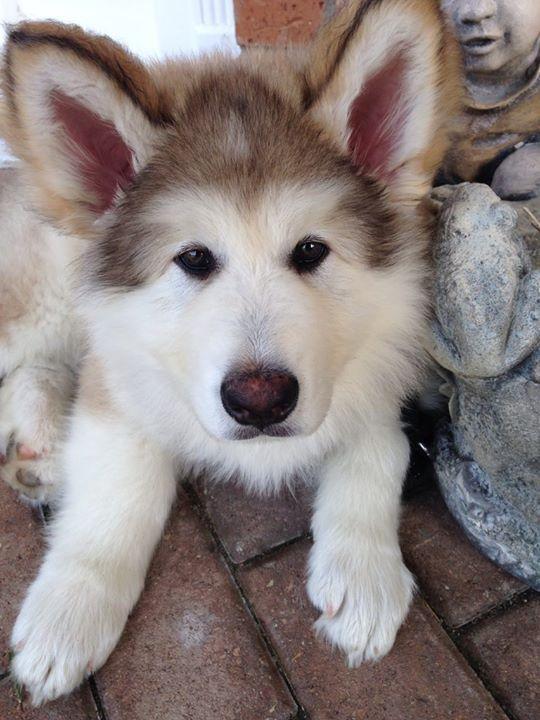 83 Best Aussiedoodle Love Images On Pinterest Washington