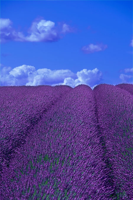 Really beautiful: Favorite Places, Lavender Fields, Beautiful Places, Fields Ready, My Friends, Lavender Hedges, Lavender Kids, Favorite Flower, Hedges Snowshil