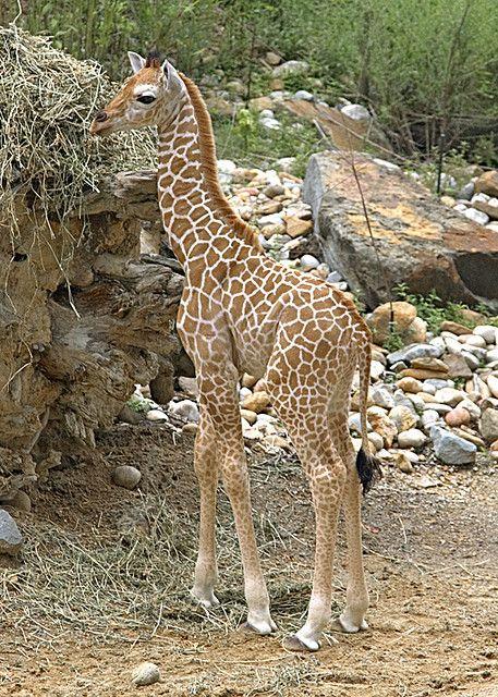 Baby Giraffe - My favorite animals!!!