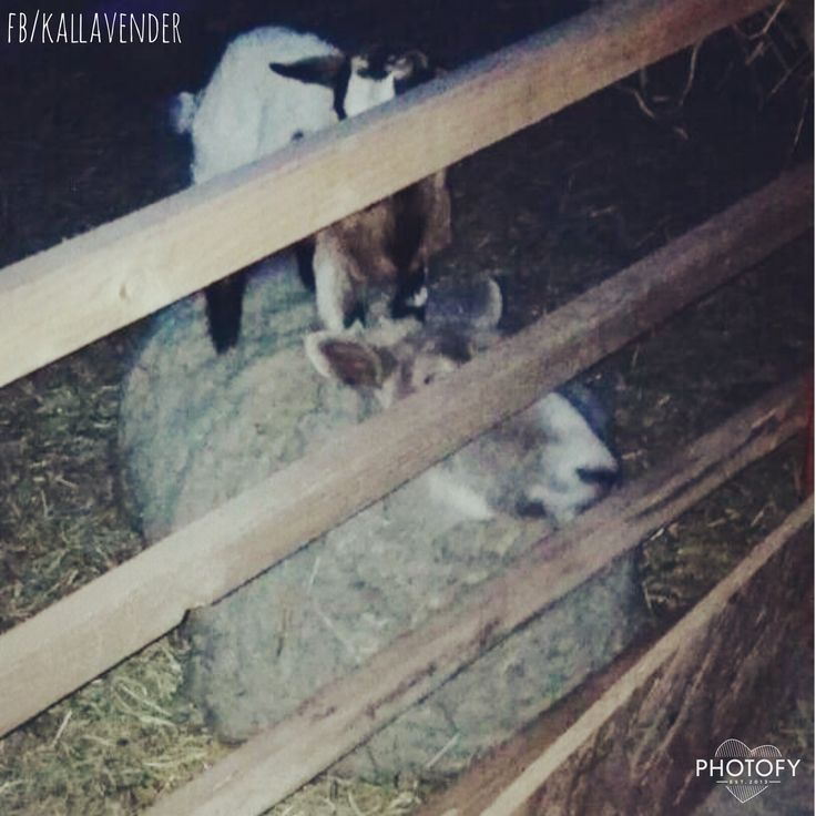 Goat-sheep agility :D