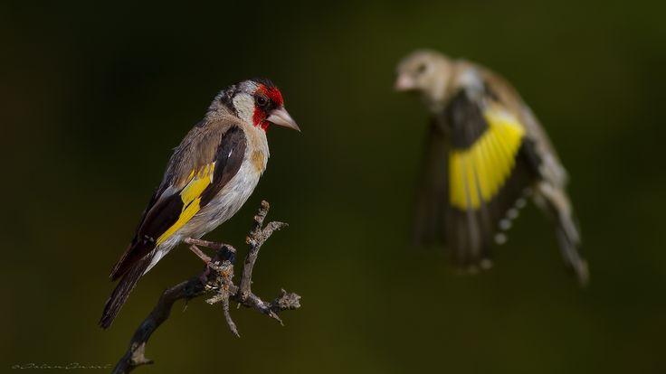Saka » Goldfinch » Carduelis carduelis by aslan ünsal on 500px