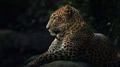 Картинки по запросу леопардовый фон на рабочий стол