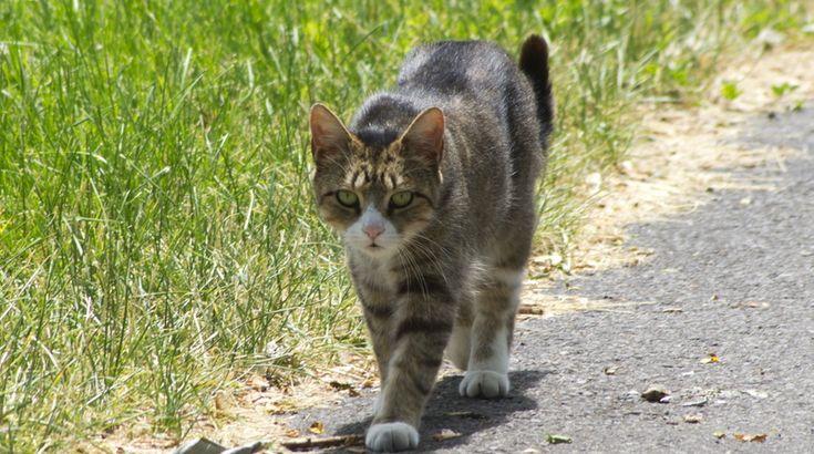 Il n'est pas rare de voir des propriétaires de chats se plaindre que leur chats ont disparu pendant quelques jours ou bien même des dizaines de jours et que celui-ci est revenu après. Ne vous en faites pas, votre chat a juste fait une fugue et c'est un comportement récurrent chez les chats.