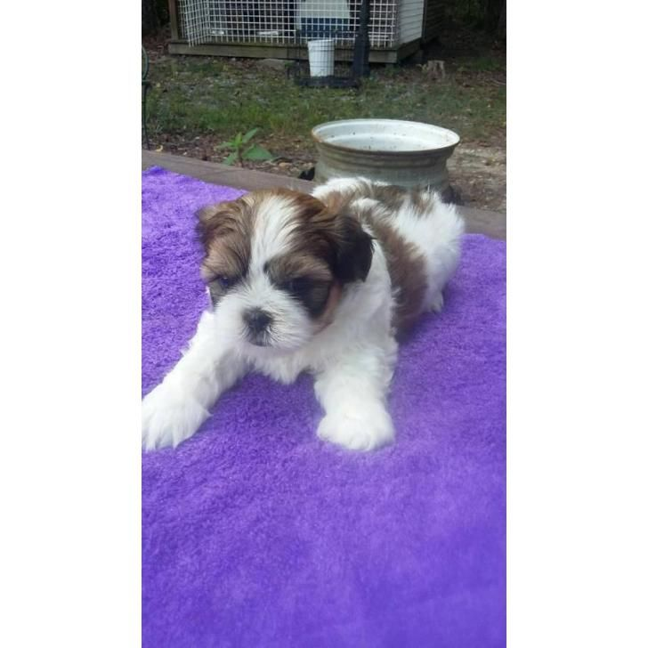 6 Weeks Old Full Blooded Shihtzu Puppies Puppies Shih Tzu