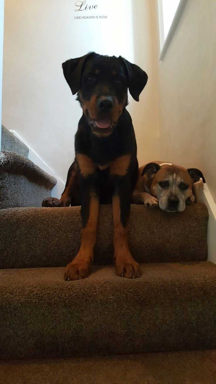 Our rotti pup iian at 6 months with our lovely staffi stella 12 years