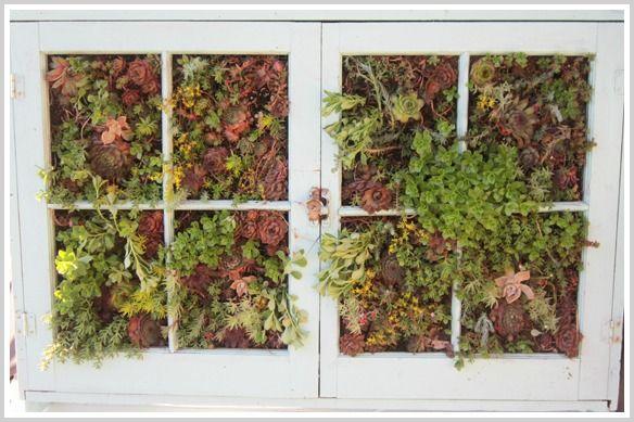 vertical succulent garden in old windows