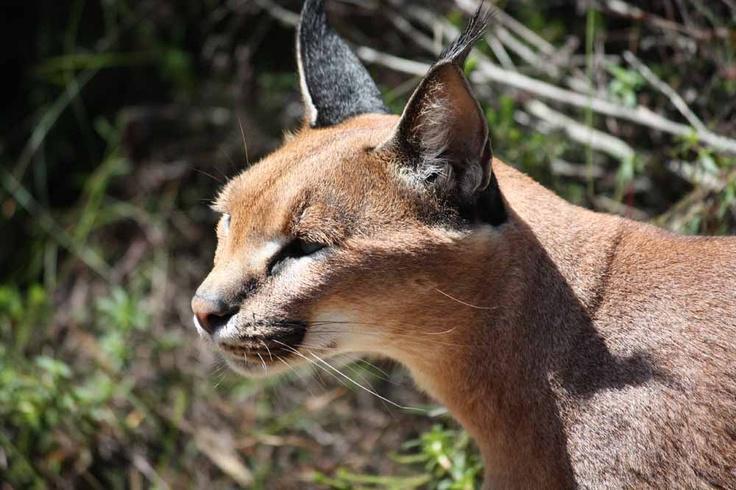 Caracal - Wild cat also known as a desert lynx
