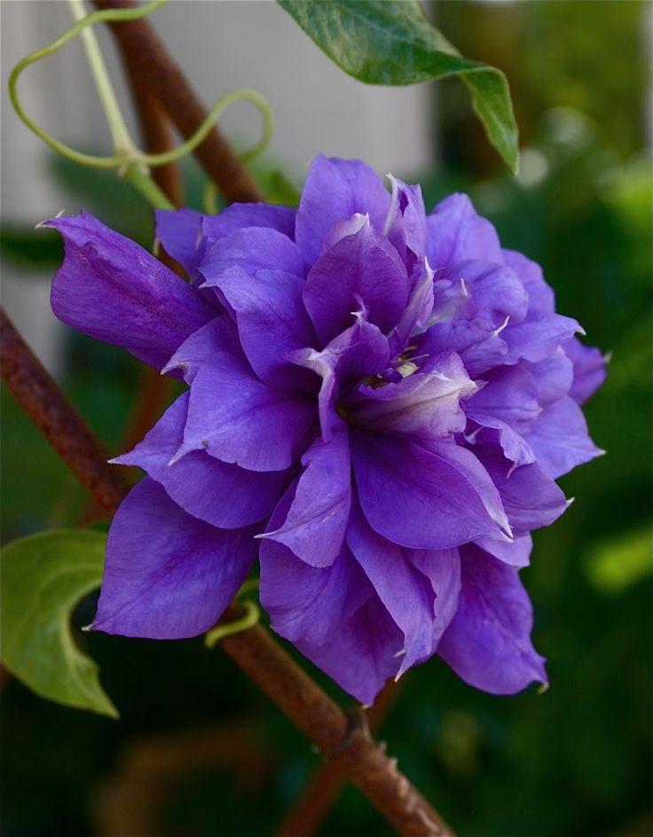 clematis-Frankista Maria...planted 2013 screenhouse