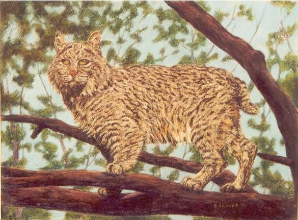 pastel bobcat
