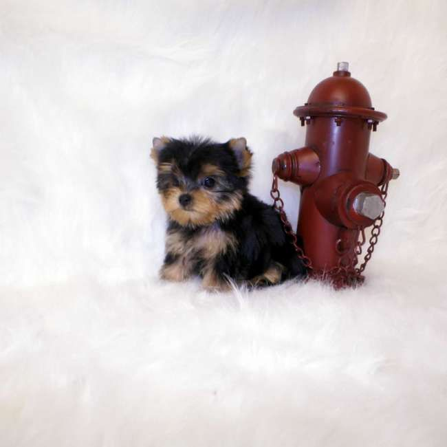 Miniature Teacup Yorkies for Sale | Previous Next Autoplay Stop
