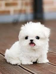 so cute white puppy