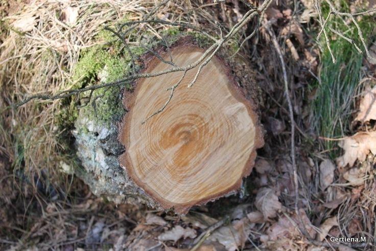 Deze foto maakte ik deze week in het bos waar erg veel is gesnoeid en ik vond het er leuk uitzien de ringen van de jaren van de boom.