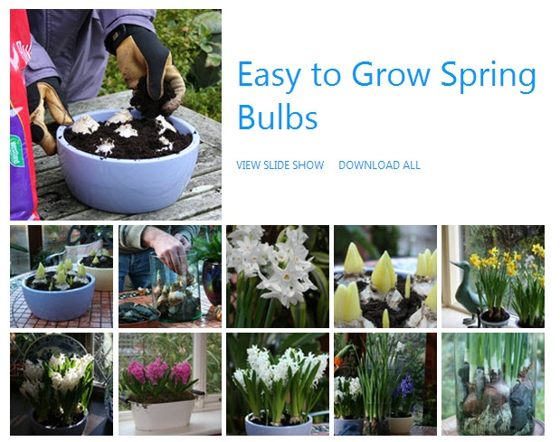 1000 ideas about grow bulbs on pinterest planting bulbs growing flowers and indoor flowers - Planting hyacinths indoors ...