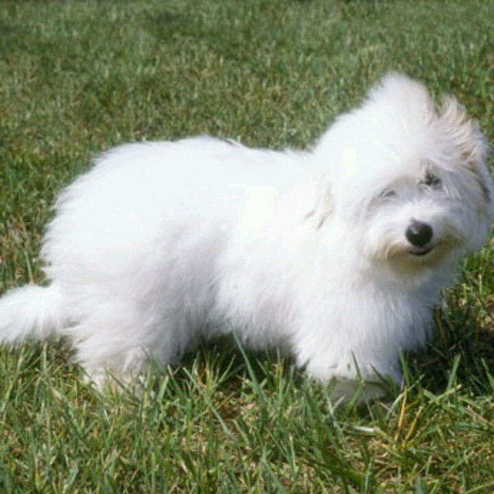 Cotton De tulear, small dog breed, minimal shedding, intelligent and affectionate!... I want one