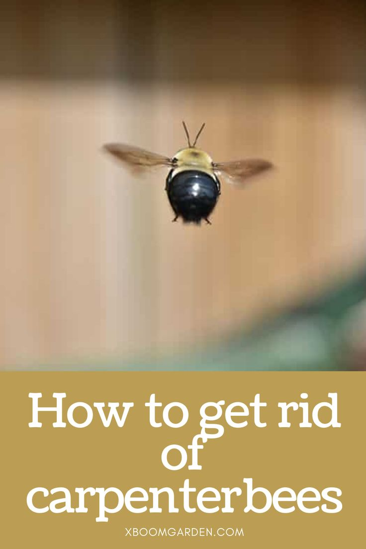 How To Get Rid Of Carpenter Bees Carpenter Bee How To Get Rid How To Get
