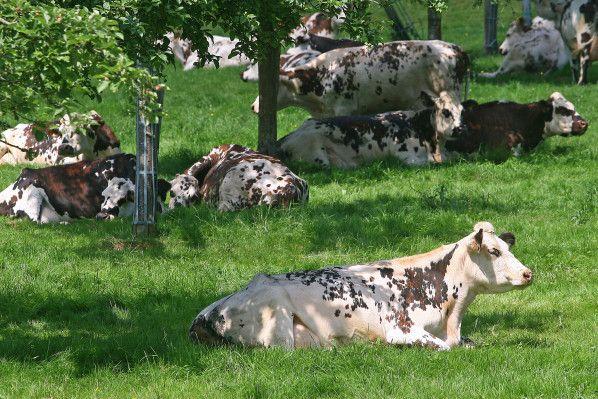 vaches normandes photos | La savoureuse expression du bocage - Culture, politique et photos