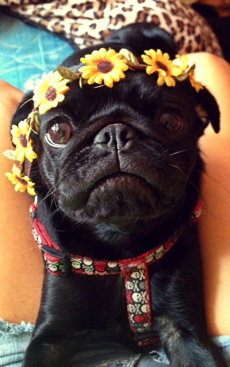 best möpse images on pinterest doggies pug puppies and baby pugs