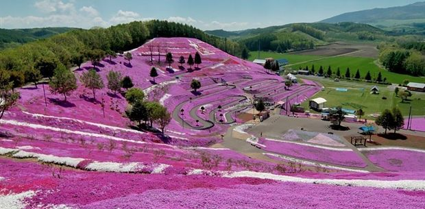 """In pictures: Japan's spectacular flower fields----Every year from April to June, millions of moss phlox flowers bloom across Japan. There's even a festival to celebrate these beautiful flowers, called the Fuji Shibazakura Festival. Unsurprisingly, Shibazakura means """"pink moss"""" or """"moss phlox"""" in Japanese."""