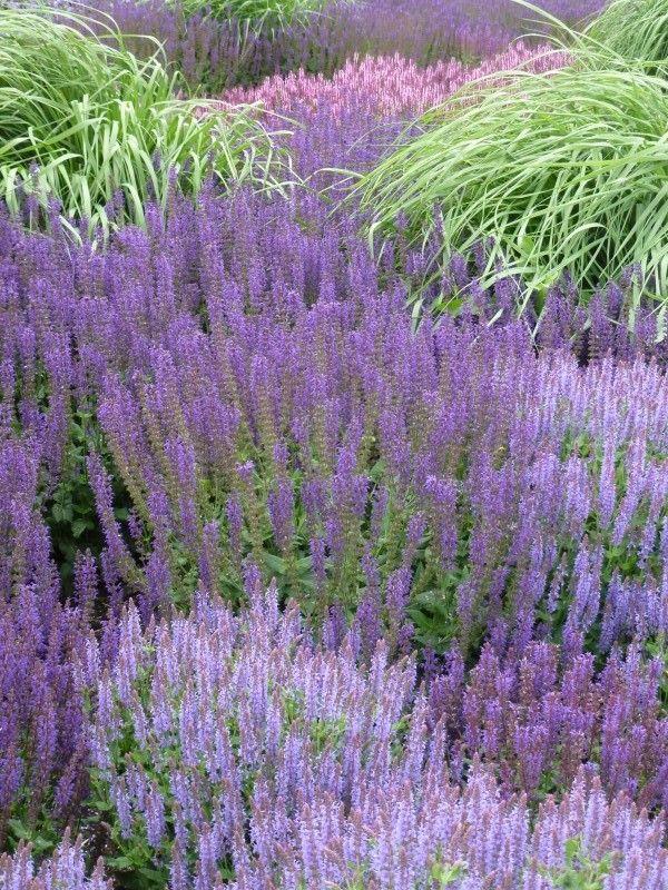 paars en blauw bloeiende vaste planten, heesters en bodembedekkers