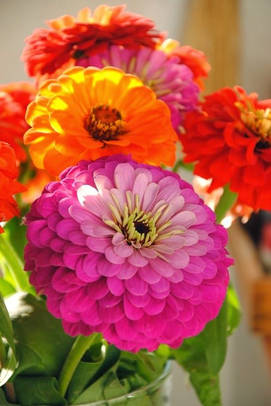 Zinnias, spectacular summer flowers. Just a little treat as it's pouring the snow as I type this lol. Hurry come Spring!