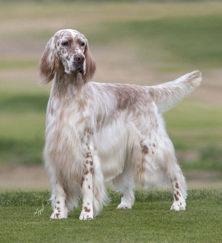 Dazzle is stunning! #1 English Setter in US 2011 15 Best in Shows and Best of Breed at the Garden!!