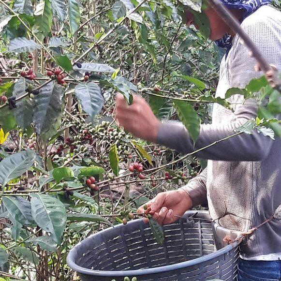 Harvest season begins! Our geisha plants are finally producing. #coffee #grower #producer #ripebeans #geisha #rainforest #jungle #costarica #harvest #roaster #farmtotable