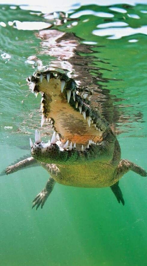Green Alligator Cuba Scuba Diving #cuba#greenalligator#scubadiving