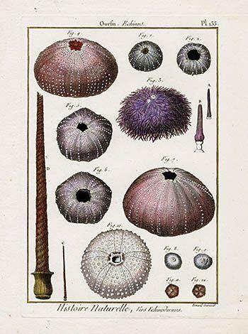 Lamarck Starfish, Sea Urchin, Sand Dollar Prints 1782