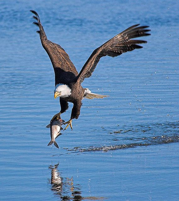 Bald Eagle snaring a meal on the Mississippi River