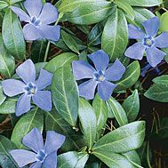Vinca Minor--Creeping Myrtle--beautiful flowers in the spring, evergreen foliage and grows pretty much anywhere.  What else could you want from a groundcover?