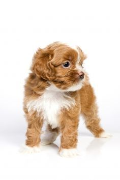 Small Hypoallergenic Dog Breeds | This hypoallergenic dog breeds sports a light but profuse silky coat ...