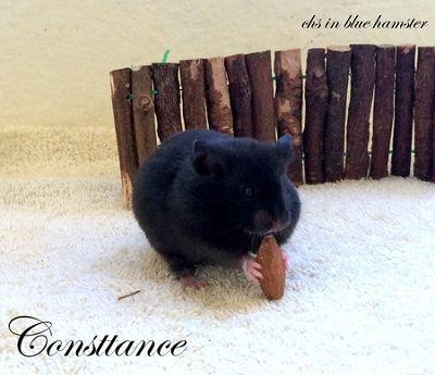 Consttance chs in blue hamster
