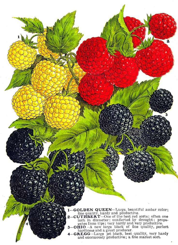 Antique Images: Vintage Fruit Clip Art: 4 Varieties of Raspberries from Vintage Seed Catalog